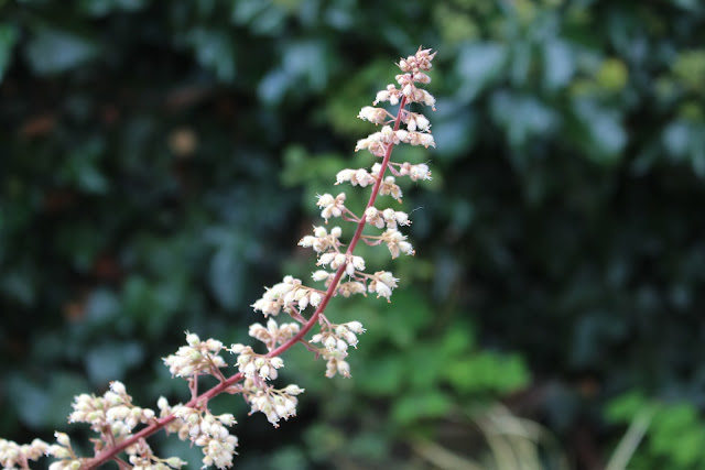 Heuchera flower - they bloom in summer