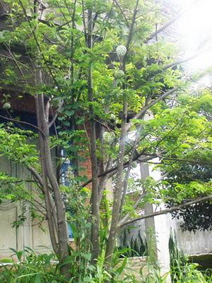 pohon delima