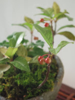 山野草盆栽の花苗 ヤブコウジ
