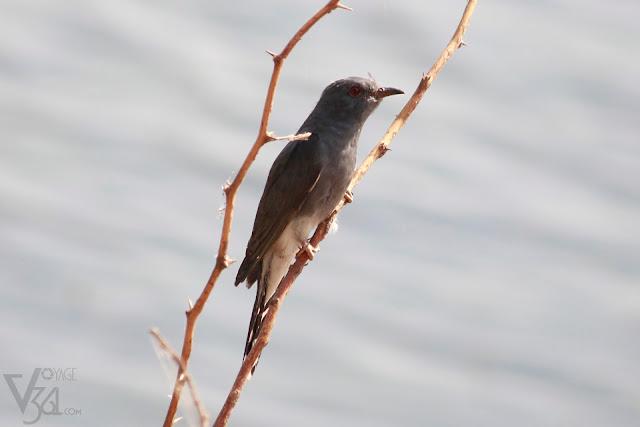 Gray-bellied Cuckoo(23 cm) - Davangere
