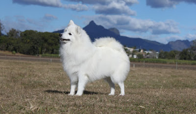 Japanese Spitz in the mountains