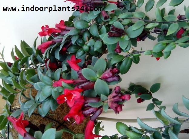Aeschynanthus lobbianus Gesneriaceae indoor plant