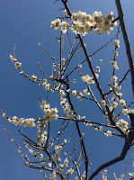 Plum Blossom Juniso Orchard