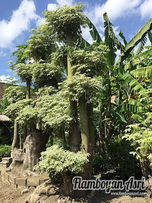 Tukang Taman Surabaya Bonsai Randu