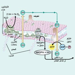 تكوين أدينوسين ثلاثي الفوسفات (ATP)