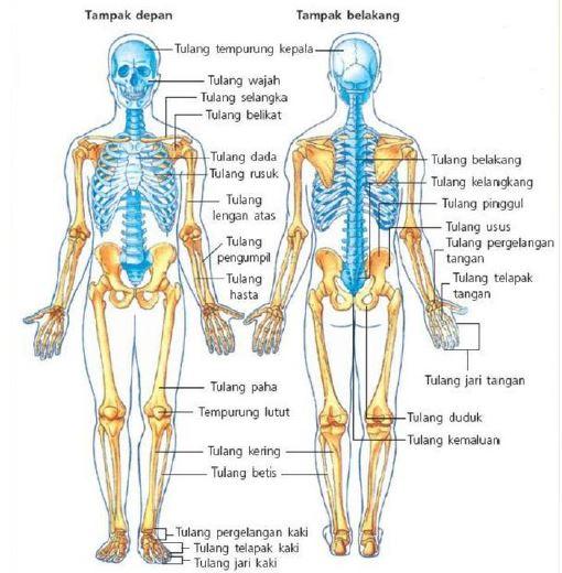 Gambar 1.1 Struktur rangka manusia dan bagian-bagiannya https://www.worldofghibli.id/gambar-kerangka-tulang/