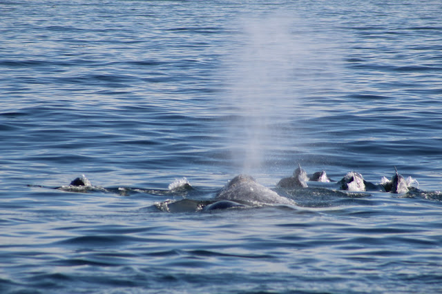 Gray Whale Swimming With Dolphins