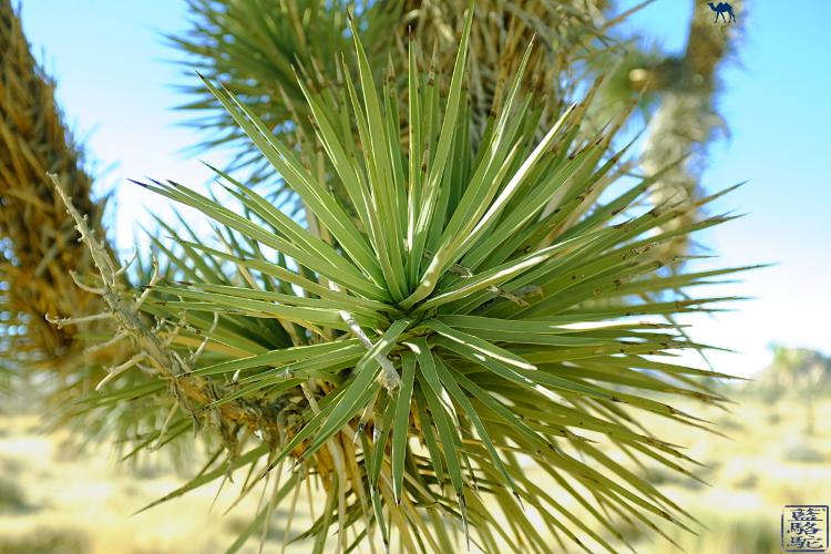 Le Chameau Bleu - Flore du Joshua Parc en Californie du Sud - Ocotillos - USA