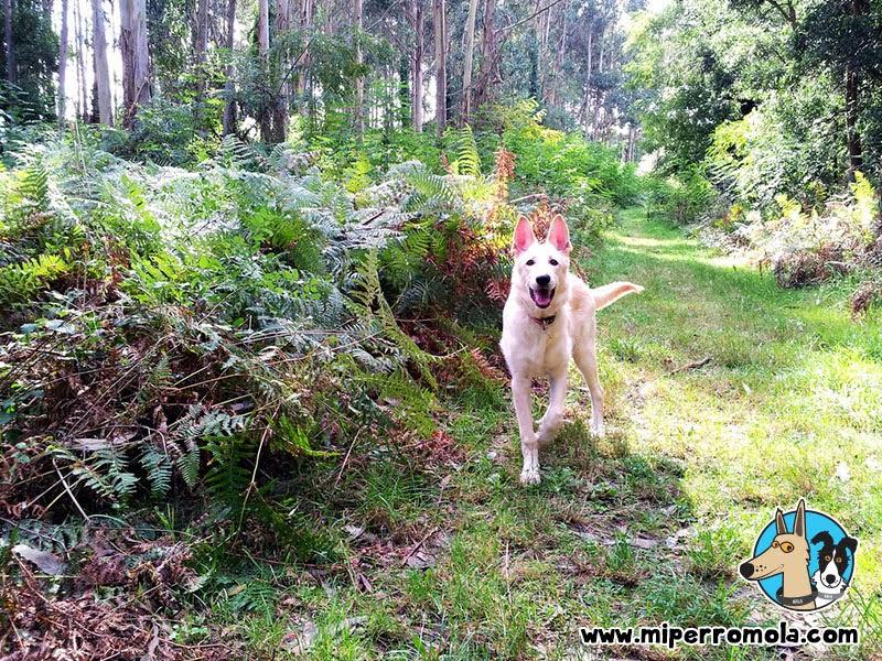 Can de Palleiro en un sendero del Roteiro Mariñan en Sada