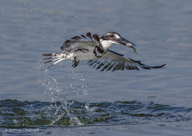 Fast Shutter Speed Action: Pied kingfisher in flight Woodbridge Island