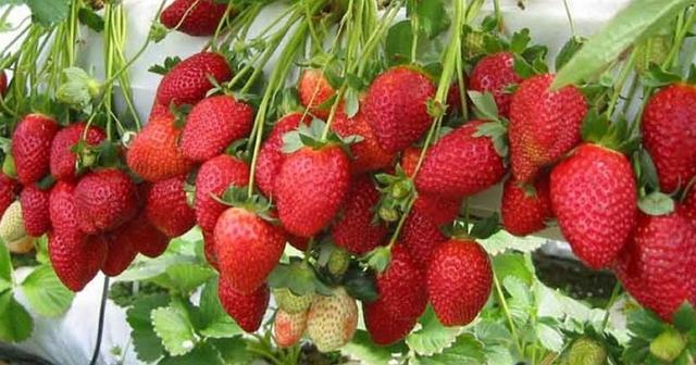 tanaman hias buah strawberry earlybrite
