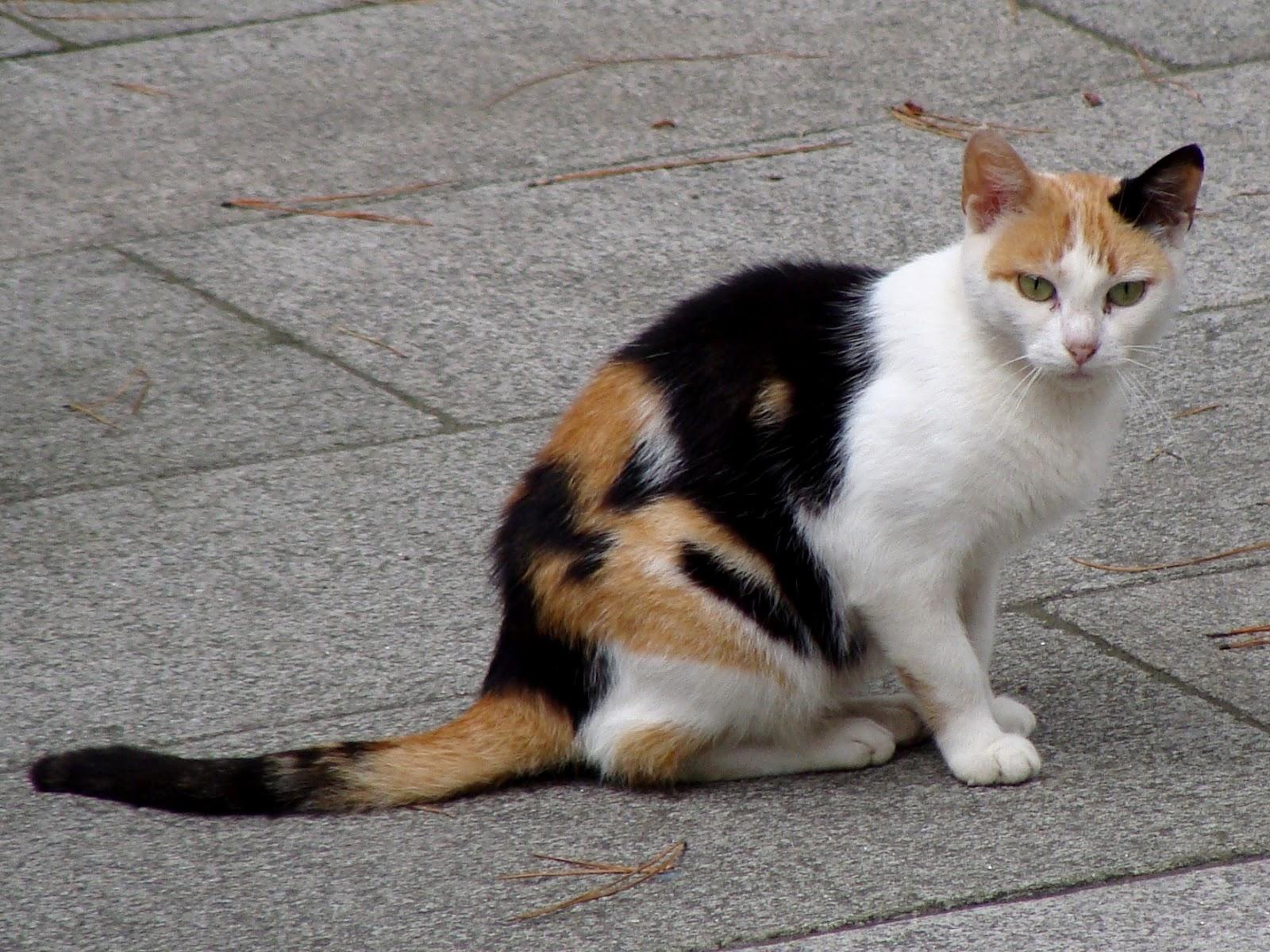 Amazing Calico Cat Cat Breeds in photographs