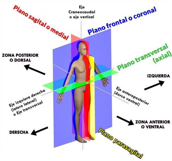 Planos anatómicos humanos ilustrados en una imagen con colores