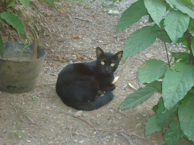 Kucing Berbulu Hitam