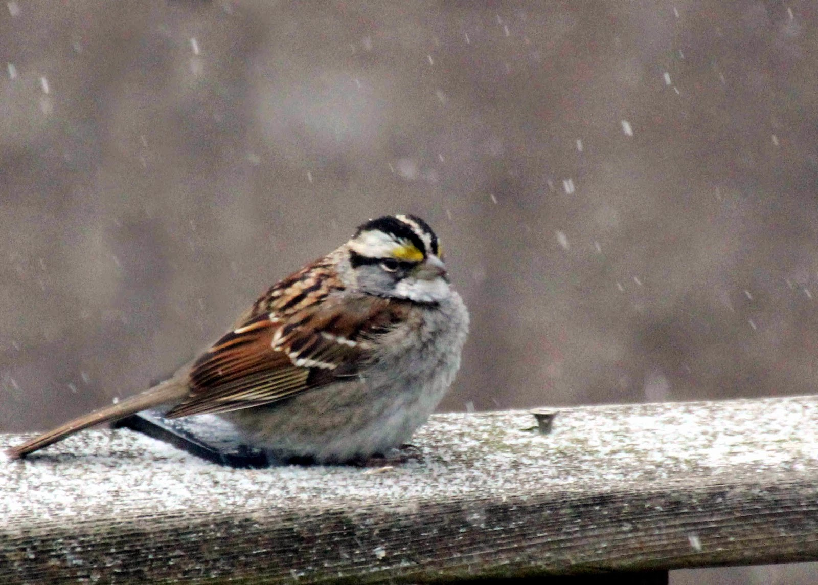 avalonia etrails the great backyard bird count