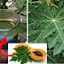 Hidden Secrets Benefits Of Papaya Leaf Juice for Skin, Hair And Health