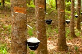 Pohon Karet dan Manfaatnya