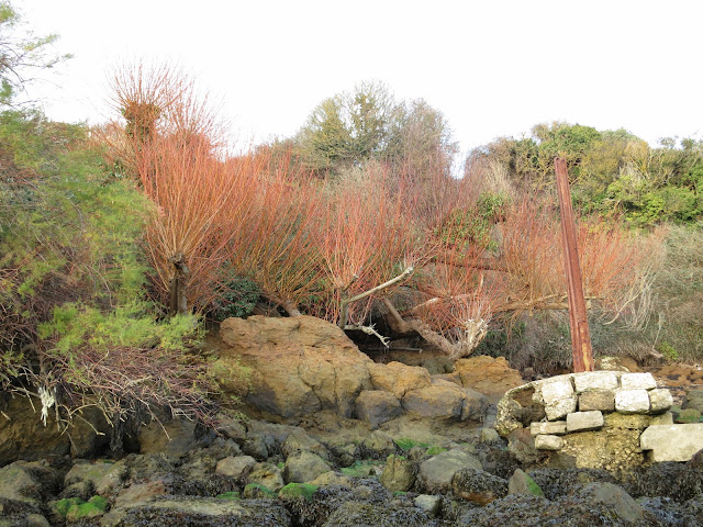 The willow trees behind rocks - their red twigs showing.