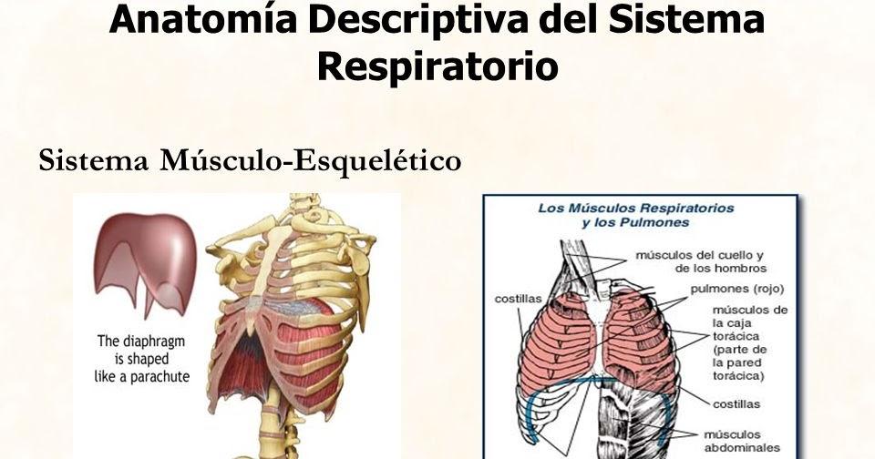 Dorable Sistema De La Caja Gris Anatomía Imagen - Anatomía de Las ...