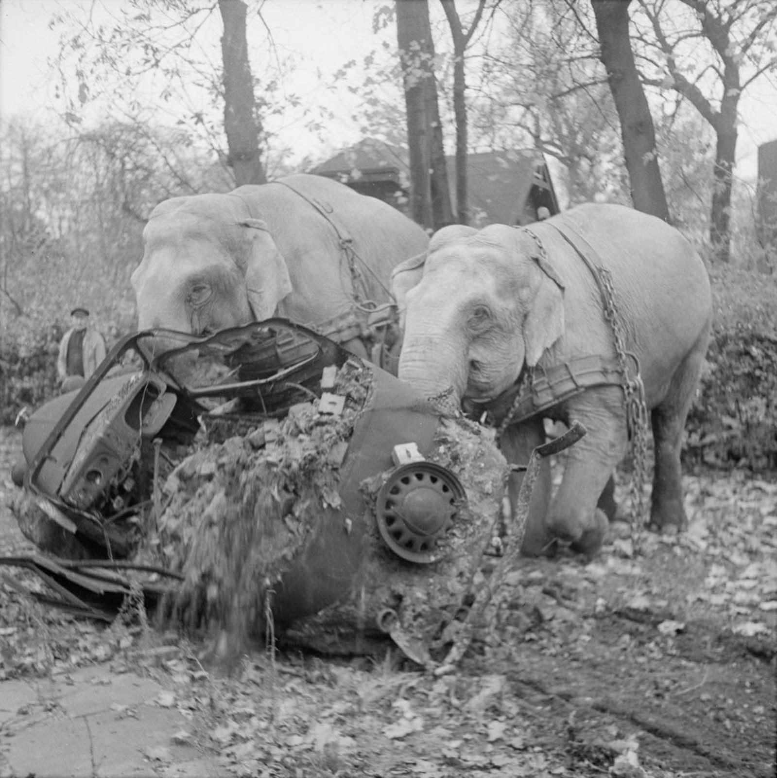 Circus elephants Kiri and Many clear a wrecked car from a street in Hamburg. Both elephants were used by the civil authorities to clear wreckage during and after the war.