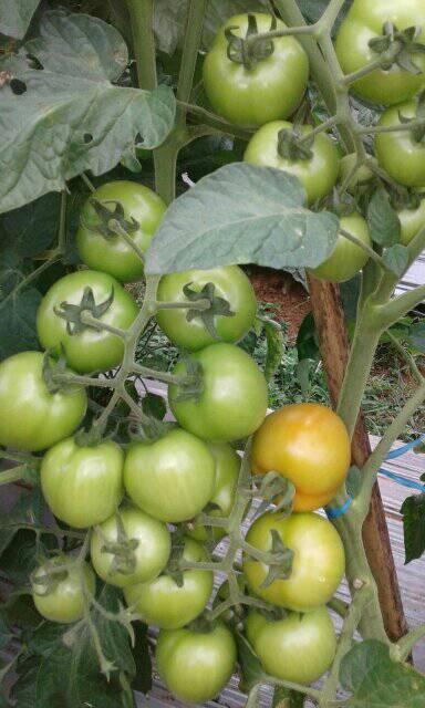 pohon tomat rampai subur dengan pupuk kompos, (Wahid Priyono, S.Pd.)