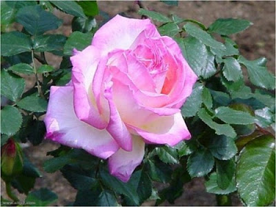 Fotografias de flores: rosas  rosadas