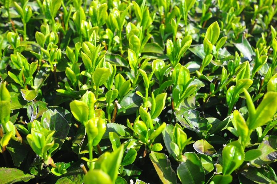숙성없이 생잎에서 '갈산(gallic acid)' 성분 대량 생산 기술 개발