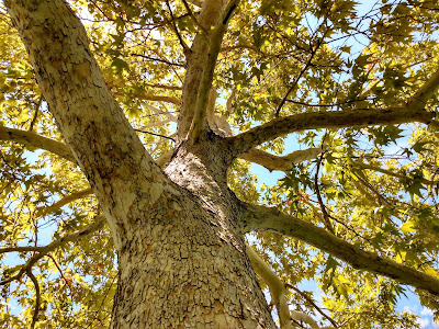 beautiful large sycamore in early fall