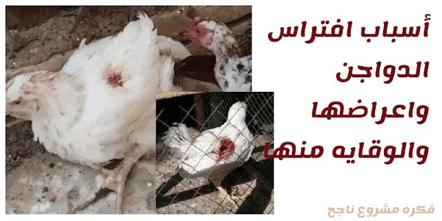 أسباب افتراس الدواجن واعراضها والوقايه منها