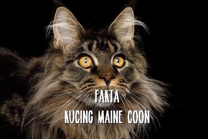 5 Fakta Unik Kucing Maine Coon, Bermuka Sangar dan Berbadan Bongsor