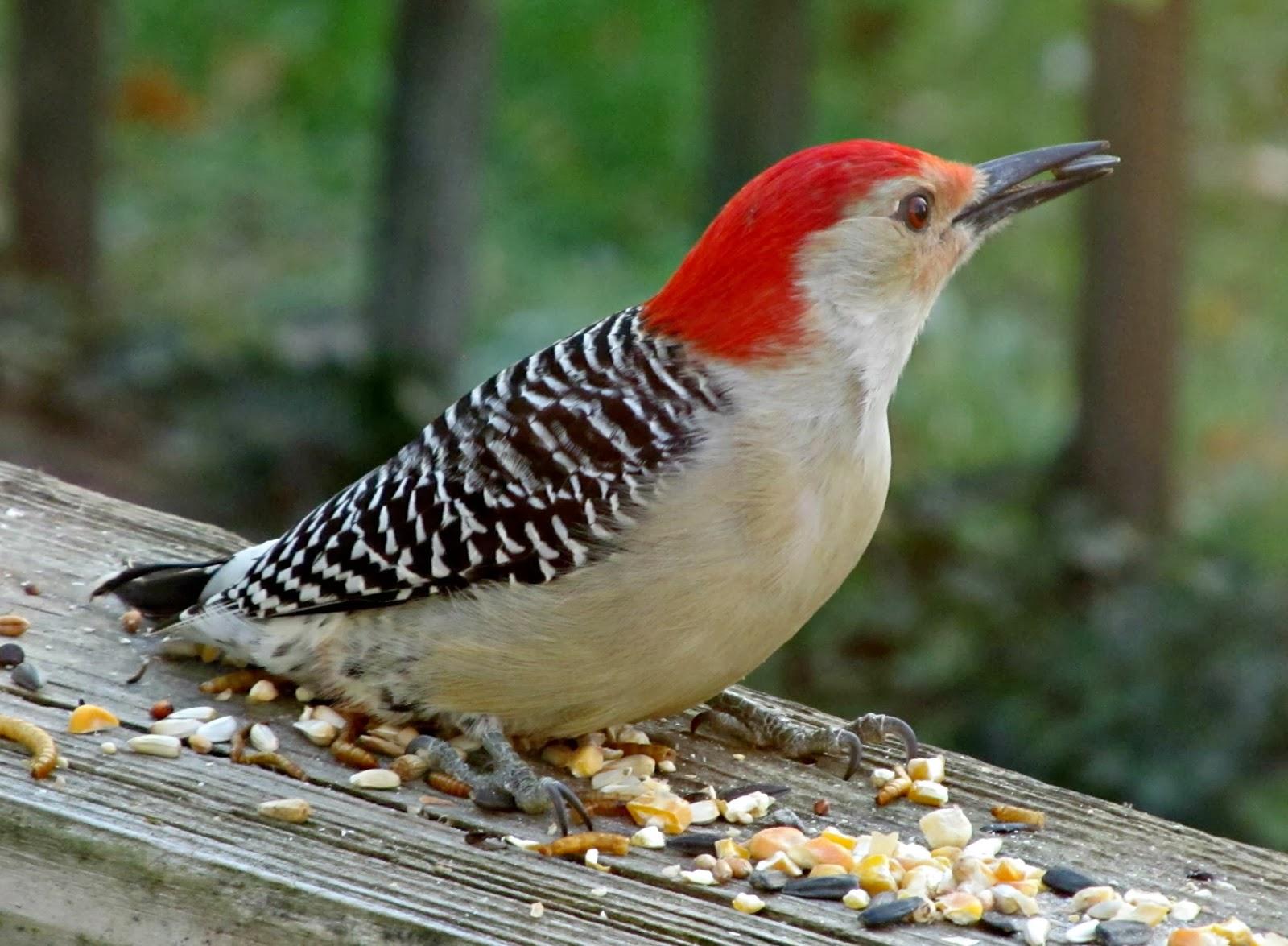 Redhead Birds 9