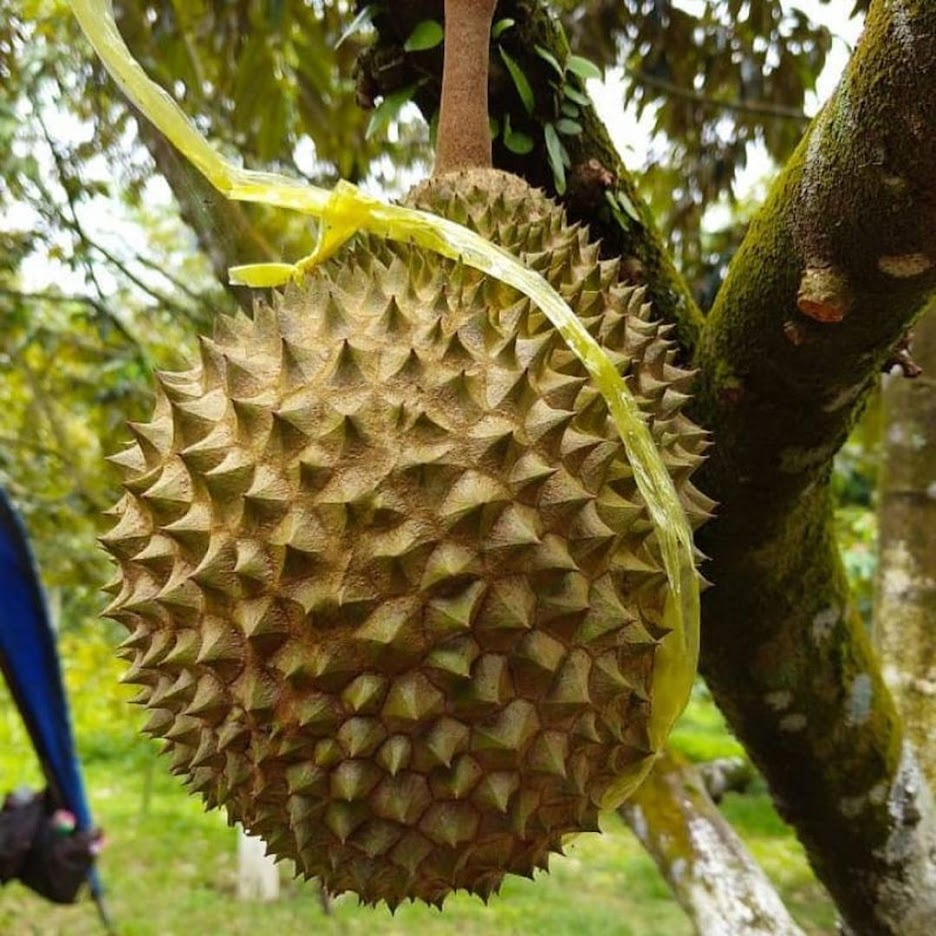 Bibit Durian Musang King Kaki Tiga Kualitas Super Bengkulu