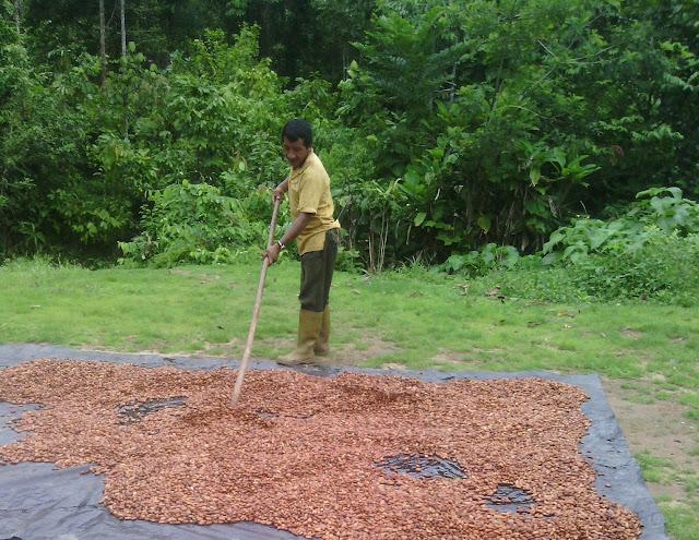Man raking cacao (cocoa beans).