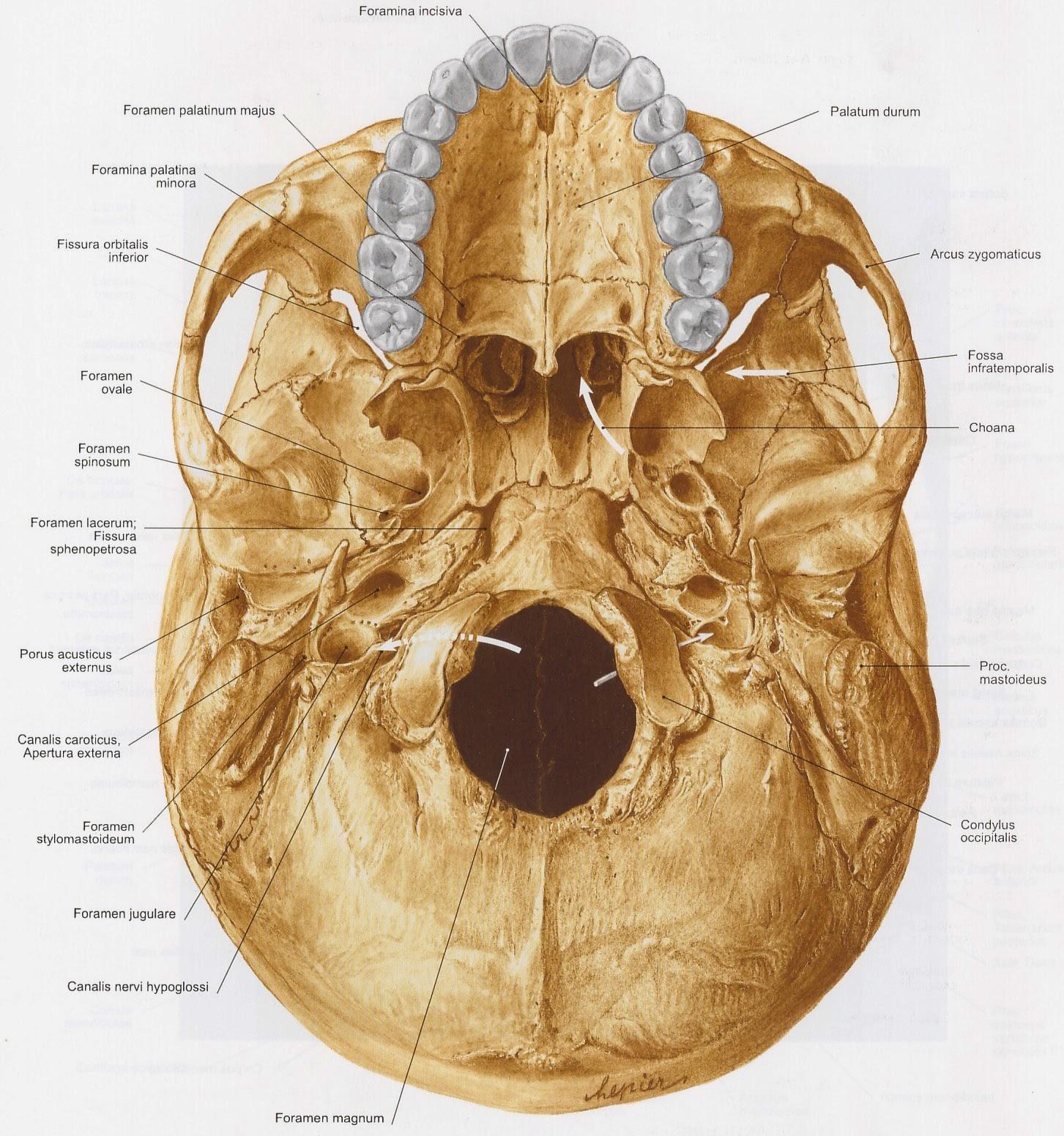X-Ray Sparrow: Anatomi Cranium