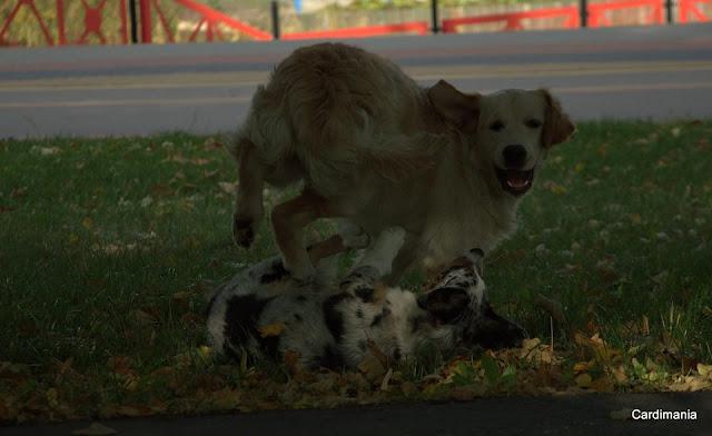 pies, park, zabawa, welsh corgi, corgi, cardigan, golden retriever, zapasy, szczeniaczki, szczeniak, papiś
