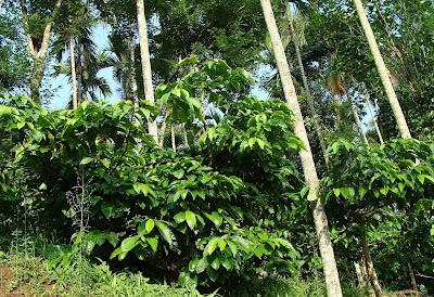 Gambar Pohon Kopi