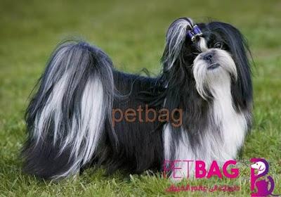 كلاب شيتزو من سلالة كلاب زينه اليفه - تشيه تزو معلومات بالصور عن كلب shih tzu
