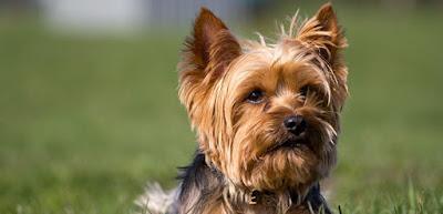 Educación Yorkshire Terrier
