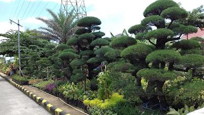 Jual pohon bonsai cemara udang - SuryaTaman