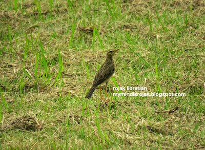 Richard's Pipit in Bidadari May 2015