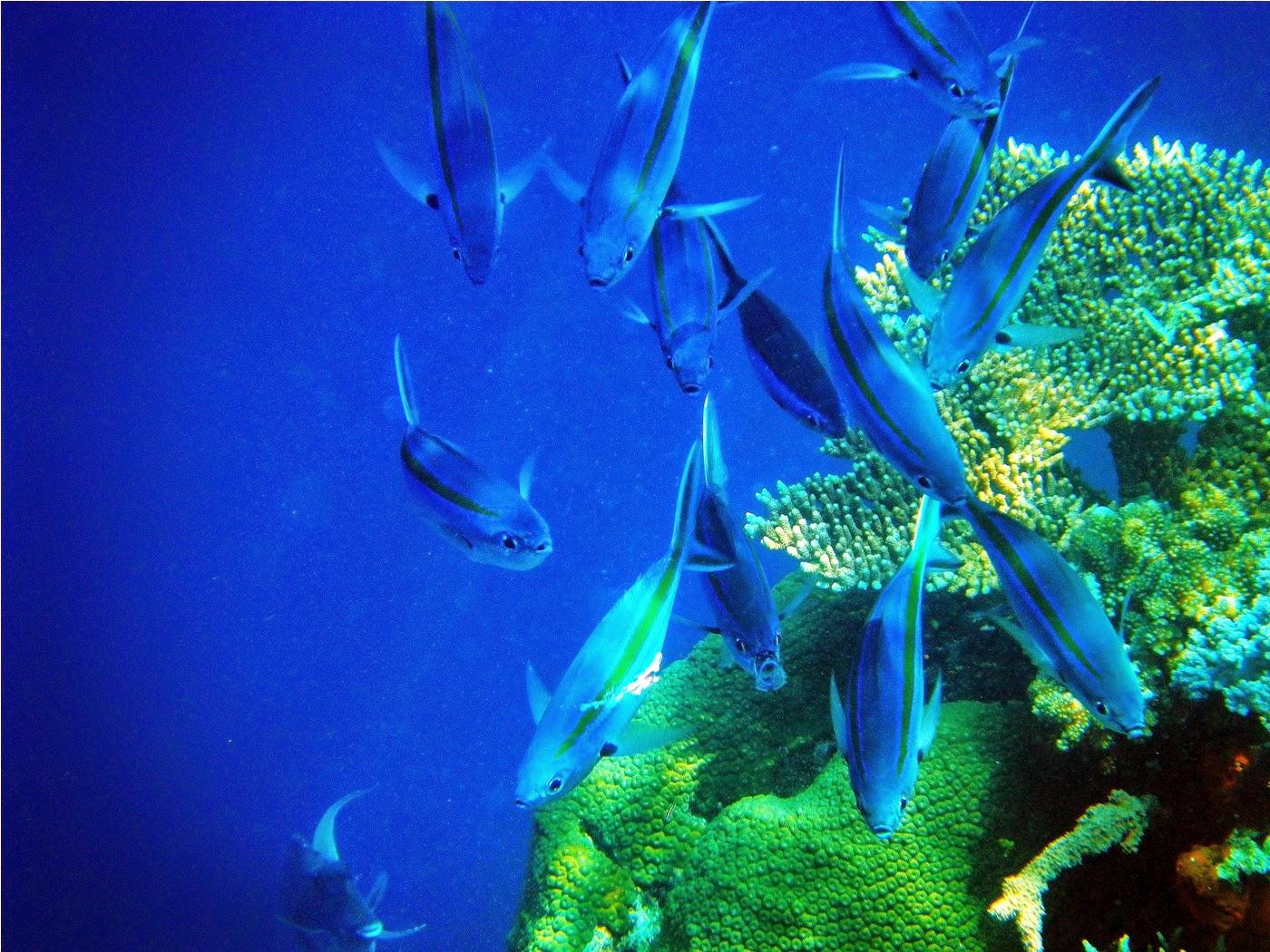 Ikan Stripped Jackfish di dinding atol Kakaban