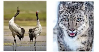 Ladakh: Black neck crane declared as state bird and snow leopard as state animal