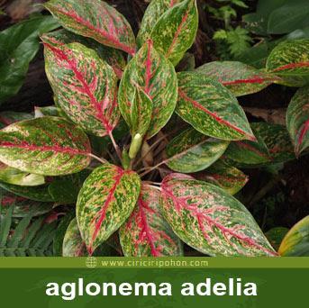 ciri ciri pohon aglonema adelia