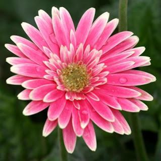 Gerberas rosa - Solo Nuevas