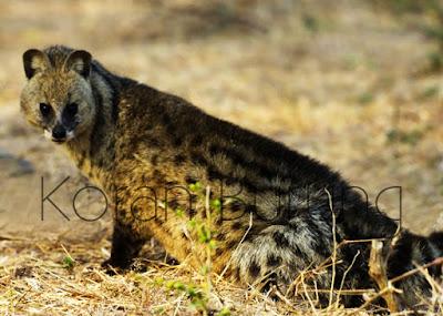 yaitu sejenis karnivora kecil dalam suku Viverridae Cara Menjinakkan Dan Merawat Musang Rase Untuk Hewan Peliharaan