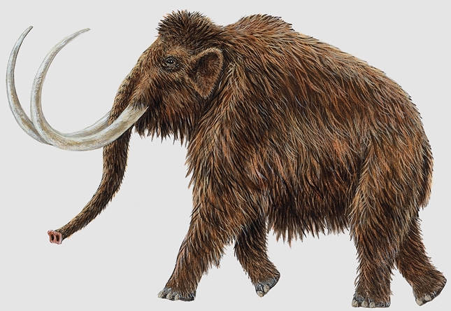 woolly mammoth endangered animals facts wildlife pictures and