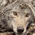 ΜΕ ΜΙΑ ΚΑΜΕΡΑ στον λαιμό ένας λύκος κατέγραψε την περιπλάνησή του στο δάσος