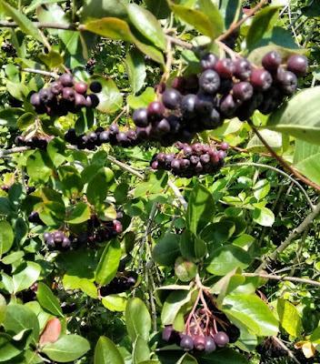 owoce na nalewkę z aronii na spirytusie