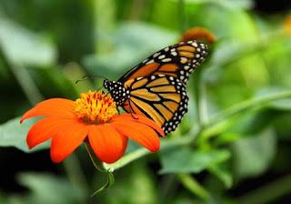 Kalian pasti pernah menjumpai serangga dengan sayap cantik ini Contoh Report Text about Butterfly dan Arti Terjemahannya