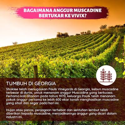Bagaimana Anggur Muscadine Bertukar Kepada Vivix?